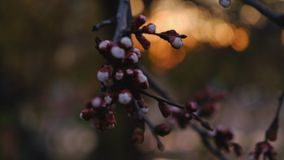 Buds of cherry tree in April. Shooting in front of golden sunset stock video footage