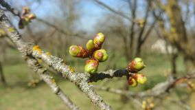 Buds on a cherry tree branch. Moving in the wind on a sunny spring day stock video footage