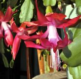 Buds of the Christmas Cactus flower in macro. Frame in big close up. stock image