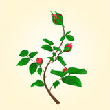 Buds of climbing roses vectornd bud vector illustration Stock Images
