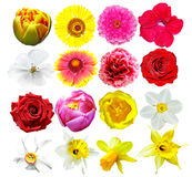 Buds of colorful flowers isolated on white background. Delicate flowers Stock Photos