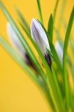 Buds of crocus flowers Royalty Free Stock Images