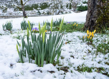 Buds of daffodils in the snow Royalty Free Stock Photo