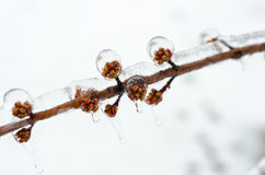 Buds encrusted in ice after freesing rain. A layer of ice coats branches of a tree after an ice storm Royalty Free Stock Photos