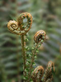 Buds of fern leaves Royalty Free Stock Photo