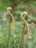 Buds of fern leaves Stock Photography