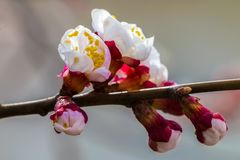 The buds of the first flowering branches open. royalty free stock photos