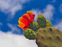 Buds and flower of prickly pear against the sun. Blue sky and white clouds Stock Image