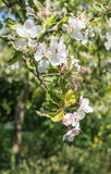 Buds and flowers of an apple tree Stock Photos