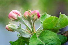 Buds of flowers of an apple-tree and leaves on an apple-tree branch in the spring. Royalty Free Stock Photos