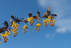 Buds and flowers on branch on blue sky, closeup Royalty Free Stock Photo