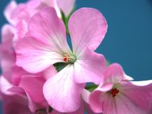 Buds of flowers geranium. The petals are pink. Houseplant. Close up royalty free stock images