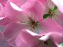 Buds of flowers geranium. The petals are pink. Houseplant. Close up royalty free stock photos