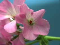 Buds of flowers geranium. The petals are pink. Houseplant. Close up royalty free stock photography