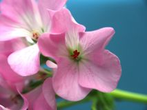 Buds of flowers geranium. The petals are pink. Houseplant. Close up royalty free stock photo