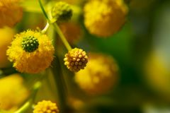 Buds and flowers of the mimosa tree close-up. Buds and flowers of the mimosa tree close up stock image