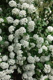 Buds and flowers of Spiraea vanhouttei in may Stock Photo