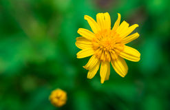 Buds, flowers. Very beautiful little yellow flowers royalty free stock photography
