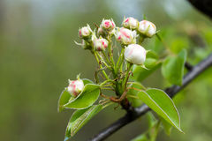 Buds of Fruit Tree Stock Photo