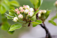 Buds of Fruit Tree Stock Photography