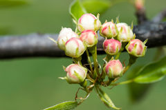 Buds of Fruit Tree Royalty Free Stock Photography