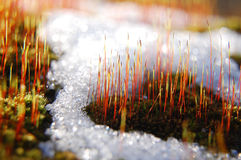 Buds of grass raising from snow Royalty Free Stock Photography