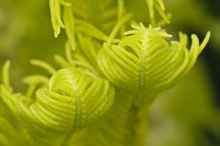 Buds of a green fern Royalty Free Stock Images