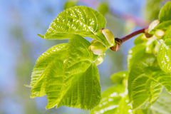 Buds and  green leaves of linden tree Royalty Free Stock Image