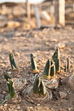 Buds in the ground Stock Photography