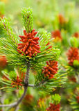 Buds growing on a pine tree Royalty Free Stock Photo
