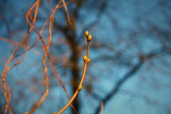 Buds growing in the spring. At forest Stock Photos