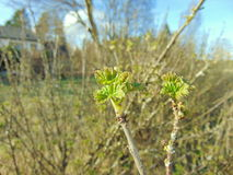 Buds growing on trees in spring. Buds on trees with warm sunny weather Stock Photos