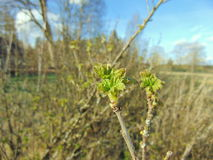 Buds growing on trees in spring. Buds on trees with warm sunny weather Stock Photography