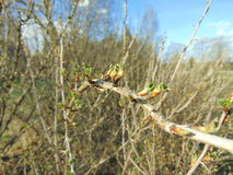 Buds growing on trees in spring. Buds on trees with warm sunny weather Royalty Free Stock Photography