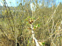 Buds growing on trees in spring. Buds on trees with warm sunny weather royalty free stock image
