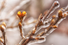 Buds in ice Royalty Free Stock Image