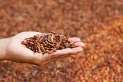 Free Buds In Human Palm On Drying Clove Spices Background Stock Photos - 99809493