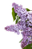 Buds of lilac Royalty Free Stock Photos