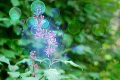 Buds of magic lilac Stock Photos