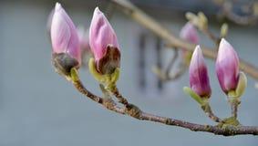 Buds of magnolia Stock Photos