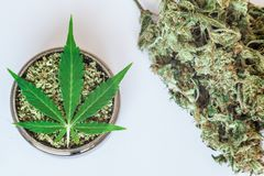 Buds of marijuana, Leaf of cannabis on grinder with crushed weed on a white background. Sticky buds of marijuana flowers with cannabis trihoma, cannabis leaf royalty free stock photos
