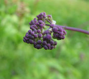 Buds meadow rue (Thalictrum aquilegifolium) Stock Photos