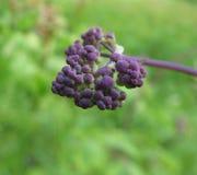 Buds meadow rue (Thalictrum aquilegifolium) Stock Photos