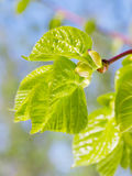 Buds and new green leaves of linden tree Royalty Free Stock Images
