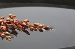 Buds of ocotillo reflect in still water Royalty Free Stock Image