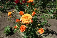 Buds and orange flower of rose. In June royalty free stock photos