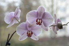 The buds of the orchids on the window. purple Orchid. blooming Orchid. stock photos