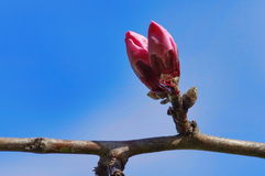 Buds of ornamental cherry Royalty Free Stock Photography