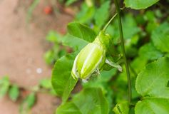 The buds of Passion Fruit on the vine. The buds of Passion Fruit on the vine with natural background blur stock image