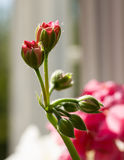 Buds of Pelargonium hortorum Royalty Free Stock Photo
